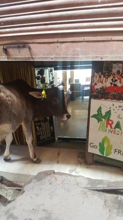 A cow waiting for the Beatles Cafe to open
