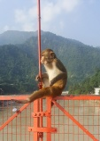 One of the many cheeky monkeys on the Lakshman Jhula Bridge