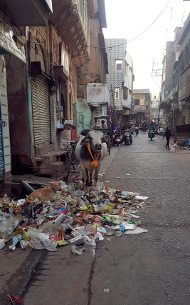 Despite cows being sacred in India, many are abandoned after a certain age (no longer produce milk) and are forced to feed from garbage on the streets, often consuming plastic and other rubbish.